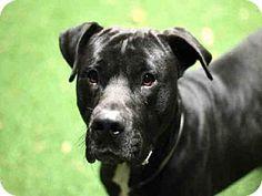 Gardena, CA - Pit Bull Terrier/Labrador Retriever Mix. Meet TYSON, a dog for adoption. http://www.adoptapet.com/pet/14606981-gardena-california-pit-bull-terrier-mix