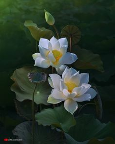 //no title duong quoc dinh Lotus Flower Pictures, Flower Images, Flower Photos, Flower Art, Beautiful Flowers Wallpapers, Beautiful Roses, Exotic Flowers, Pretty Flowers, Lotus Flowers
