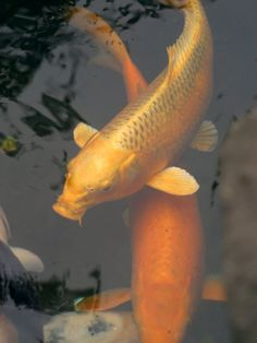 Goldfish is not a good beginner fish keeping. They get huge, they belong in a pond or a big huge aquarium with excellent filter as they are very dirty fish. Experiences of having them as pets for years.