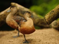 60 Cute Baby Duck Pictures to Make You Say Awww