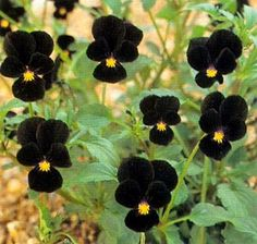 Black flowers have a special appeal to the eye. This black pansy is named Viola nigra Bowles Black.