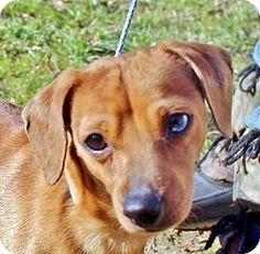 Yardley, PA - Dachshund Mix. Meet Tucker T~B, a dog for adoption. http://www.adoptapet.com/pet/12442335-yardley-pennsylvania-dachshund-mix