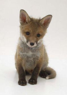 Baby fox = adorable