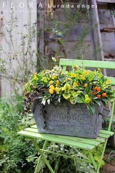 カプシカムとメランポジウムBOX の画像|フローラのガーデニング・園芸作業日記