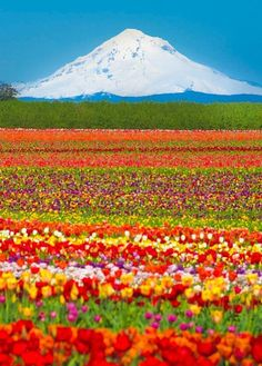 Field of Spring Flowers. Mt. Hood, Oregon