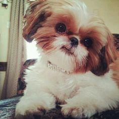 Adorable Shih Tzu Dog - Look at that Head-Tilt More