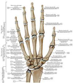 vmede.org sait ?page=2&id=Anatomija_bili4_t1&menu=Anatomija_bili4_t1