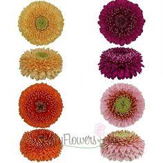 Gerrondo Gerbera Daisy Flowers Assorted Colors | FiftyFlowers.com; 40 Gerrondo Gerberas for $99.99