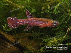 Diapteron cyanostictum Sam GBN 88-29