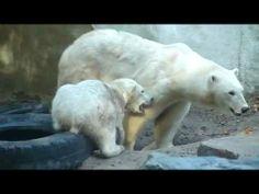 Ouwehands Dierenpark - IJsbeertje Walker heeft honger (en laat dat horen ook)
