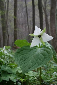 White trillium in the forest