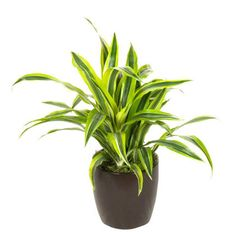 Dracaena Lemon Lime  Same great group of plants, but this time with a two-tone stripe look. Can bought large or small, with varying densities.