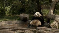 When this panda just wanted some peace and quiet in his pool