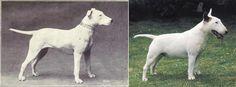 Как изменились породы собак за последние сто лет Бультерьер был красивой спортивной собакой. Без уродливой морды и отвислого живота. Новая форма черепа привела к появлению проблем с зубами и прогрессирующей глухоте. Кроме того у собаки врожденный вывих локтя и частые солнечные ожоги