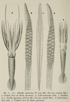 First records of juvenile giant squid, Architeuthis