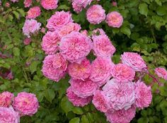 Sweet Drift® Pink Groundcover Rose rosa meiswetdom PP CPBRAF Brighten up your borders with the beautiful Sweet Drift Rose. The pastel pink, double flowers cluster above glistening green foliage Horticulture, Comment Planter Des Roses, Ground Cover Roses, Drift Roses, Rose Foto, Rose Garden Design, Dame Nature, Planting Roses, Garden Roses