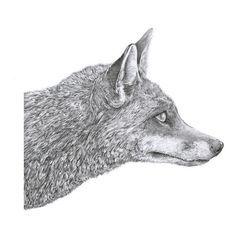 Fox Illustration on the Behance Network ❤ liked on Polyvore featuring fillers, drawings, animals, backgrounds, doodles, quotes, text, saying, scribble and phrase