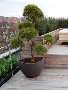 Love the blend of the rustic wood stainless stanchions and cable planters shrubs and the non rectilinear planter Cloud pruned tree Big Plants, Indoor Plants, Container Plants, Container Gardening, Urban Gardening, Garden Trees, Garden Pots, Starting Plants From Seeds, Baumgarten