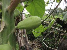 papayuela verde