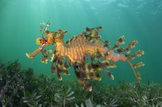 A male leafy seadragon (Phycodurus eques) carrying a clutch of eggs swims above a seagrass meadow, Wool Bay Jetty, Yorke Peninsula, South Australia