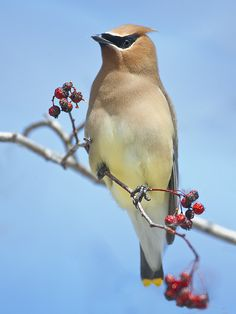 Cedar Waxwing: eats berries and fruit year-round with insects becoming an important part of the diet in breeding season. Its fondness for the small cones of the Eastern Redcedar (a kind of juniper) gave this bird its common name. They eat berries whole. When the end of a twig holds a supply of berries that only one bird at a time can reach, members of a flock may line up along the twig and pass berries beak to beak down the line so that each bird gets a chance to eat.