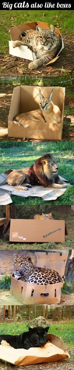 Big cats also like boxes.