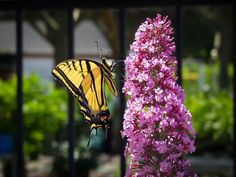 Six to eight butterfly bushes along fence. Pink Delight Butterfly Bush For Sale Hydrangea Seeds, Orchid Seeds, Hydrangea Flower, Poppy Flower Seeds, Vanilla Strawberry Hydrangea, Pink Perennials, Butterfly Bush, Butterfly Plants, Plant Cuttings