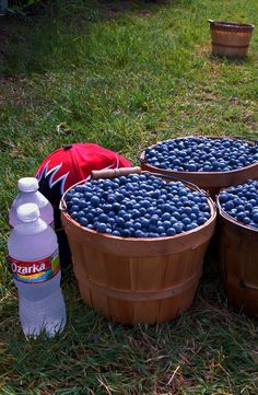 Blueberry Hill Farms. Edom, Texas, just west of Tyler.  Pick blueberries & blackberries June & July  (Friend owns this and it is so much fun)