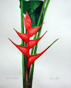 Heliconia Stricta, watercolor
