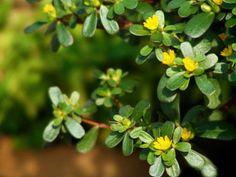 Purslane Portulaca Grandiflora Herb Seed 100 Seeds by Portulaca Grandiflora, Herb Seeds, Herbs, Handmade Gifts, Plants, Etsy, Kid Craft Gifts, Craft Gifts, Herb