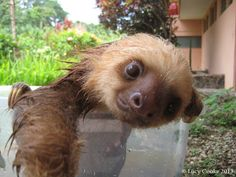 Wet sloths. | The 29 Cutest Sloths That Ever Slothed