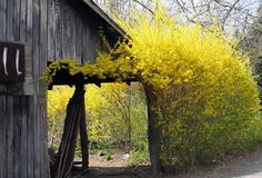 forsythia is spring. it reminds me of visiting the farm on the Toronto island, patting the head of one horse while another chewed the forsythia in my other hand. smart animals.