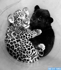 Google Image Result for http://omgcutethings.com/wp-content/uploads/2012/07/black-and-white-animals-omg-cute-things-072512-06.jpg