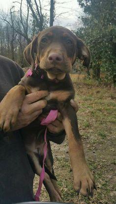 Keene, beautiful 9week old lab/hound puppy girl arriving tomorrow! www.ruffhouserescue.org for adoption applciaton #ruffhouserescue #adoptkeene