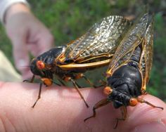 A pair of mating Magicicada septendecims found in Woodbridge Township NJ Cicada Tattoo, Beautiful Bugs, Wasp, Ants, Dragon Flies, Beetles, Spiders, Butterflies, Science