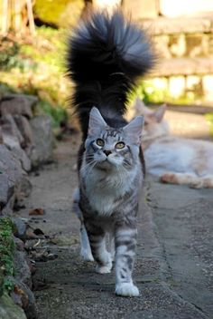 fluffy tail on this kitty!