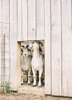 Burlap and Hay: good names for goats. Country Charm, Country Life, Country Girls, Country Bumpkin, Country Living, Country Roads, Farm Animals, Cute Animals, Cute Goats