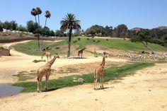 San Diego Zoo Safari Park  We got a private tour of okapis and tigers!