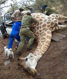 Sick Freaks - Stop Hunting Giraffes for Sport. Do they really think they are big men? They cheat and are murderers. #dishonorable