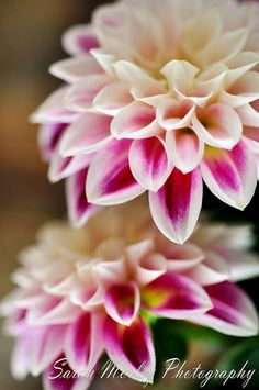 ~~Dahlias by Sarah Morley Photography~~