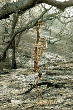 naturepunk: 😡 A deer, hanging by its antlers from the branch of a tree in Griffith Park, California, after a fire in 2007 😡 Griffith Park, Wild Fire, Animal Bones, Oh Deer, Skull And Bones, Dark Art, Scary, Creepy Stuff, Creepy Art