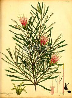 Red-flowered Lambertia, lambertia formosa ...