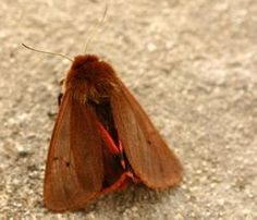 The Ruby Tiger Moth is very common throughout the Maltese Islands.