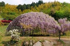 「Wisteria floribunda Japanese Kawachi Dome」の画像検索結果