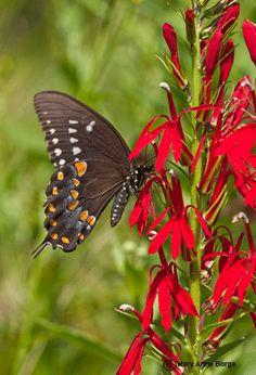 Spicebush Swallowtail on Cardinal flower
