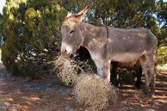 Donkeys eat tumble weeds?