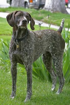 German Shorthaired Pointer …