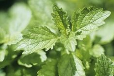 Companion Plants for Lemon Balm thumbnail... plant with Tomatoes, chives and basil .  Permanent bed.