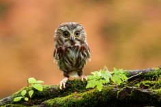 Owls are just the cutest