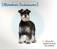 Did you know the Miniature Schnauzer is derived from the Standard Schnauzer and was bred with smaller dogs like Poodles and Affenpinschers to create a smaller version? Read more about this breed by visiting Petplan pet insurance's Condition Checker!